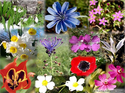 Flowers of Lebanon