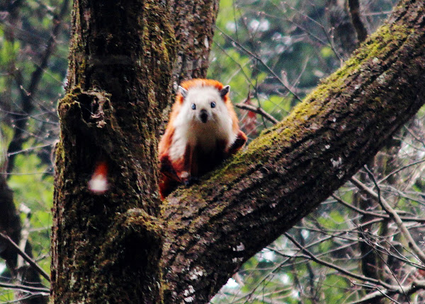 Red and White Flying Squirrel