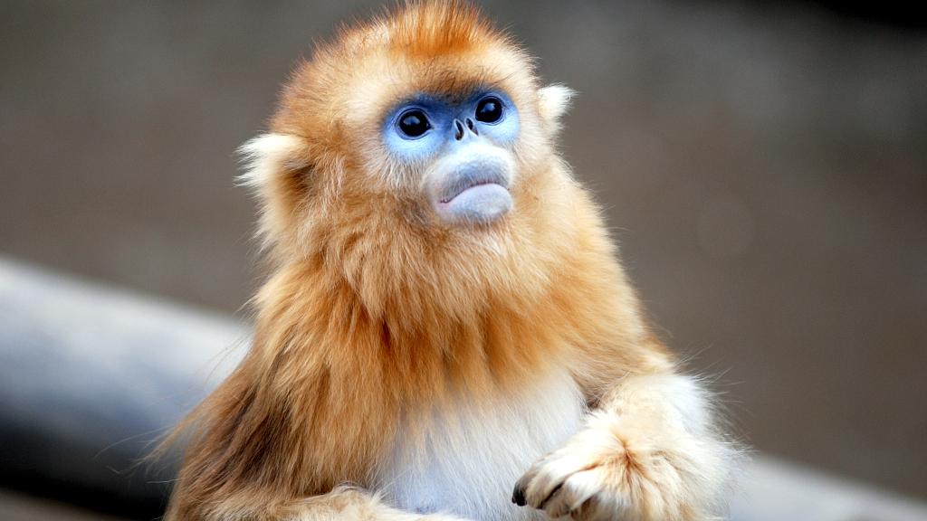Chinese Golden Monkey