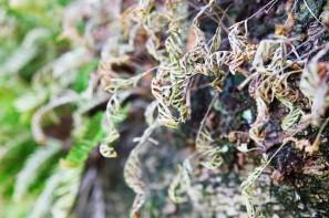 Ferns Shallow