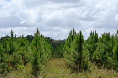 Alachua Trees