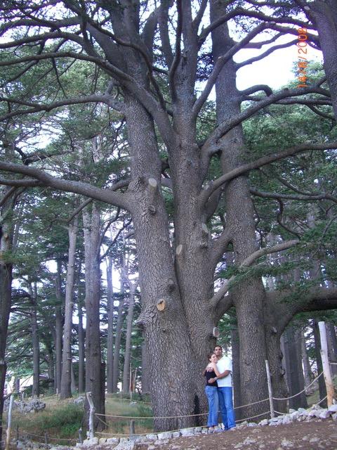 Cedar of Love